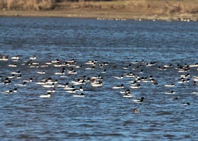 Flock of Merganser
