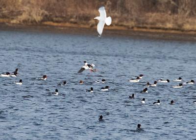Flock of Mergansers