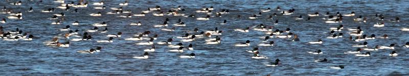 Flock of Merganser on Lake Galena
