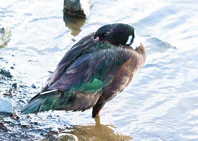 Muscovy & Mallard Hybrid Duck