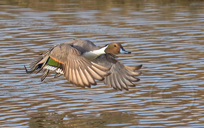 Pintail in a Panic