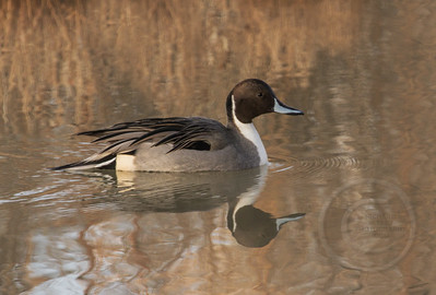 Northern Pintail Duck in Perfect Reflected Pose