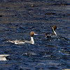 Two Male Northern Pintail