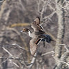 Male Northern Pintail flys upstream