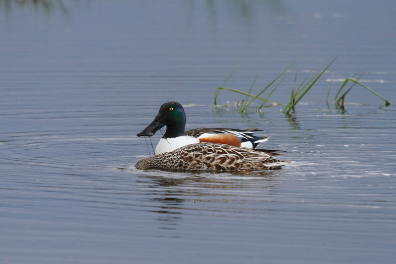 Northern Shoveler Male and Female