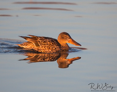 Female Northern Shoveler Floating