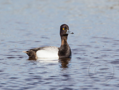 Scouting Out Scaup