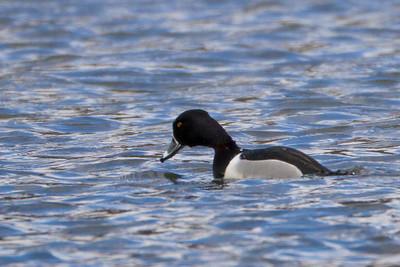 Ring Bill Duck, Male, Middlecreek Reservoir
