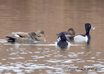 Gadwell and Ring Billed Ducks At Middle Creek Reservoir