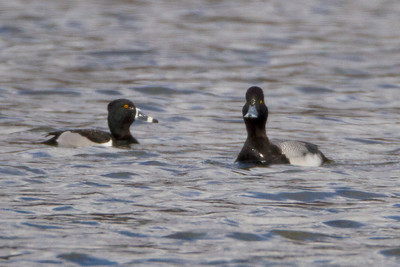 Ring Bill Duck and Scaup