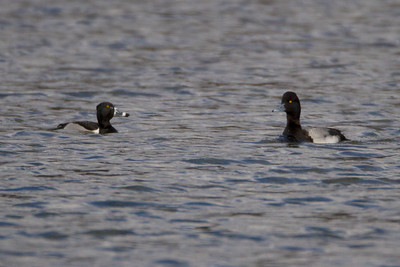 Ring Bill Duck and a Scaup