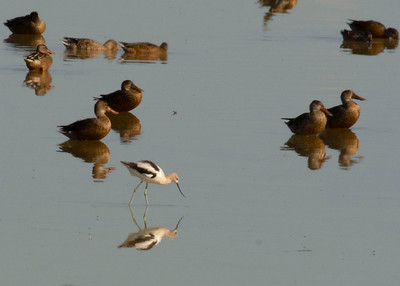 Summering Female Shoveler Ducks & Avocet