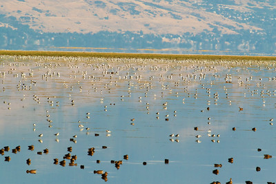 Phalaropes and Shovelers