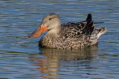 Female Shoveler duck playing in the water at Heinz Wildlife Refuge, PA on migration south fall 2014