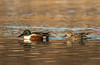 Male/Female Northern Shovelers