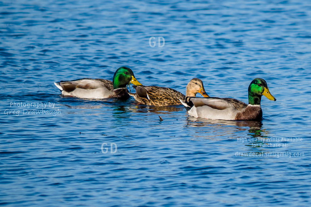 Trio of Mallard Ducks