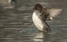 Female Common Goldeneye wing stretch
