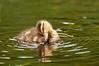 ADK-12576: Preening duckling
