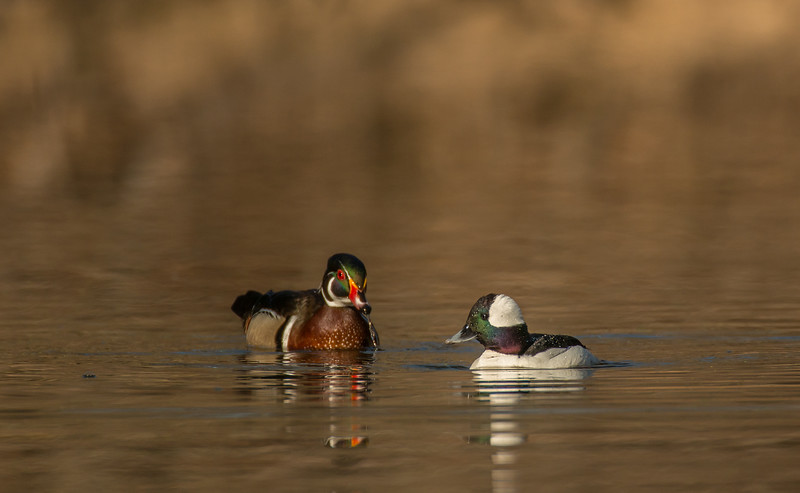 Drake Bubblehead and Wood Duck