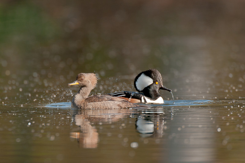 ADK-12324: Hooded Merganser pair