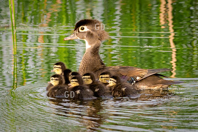 Woodduck Family