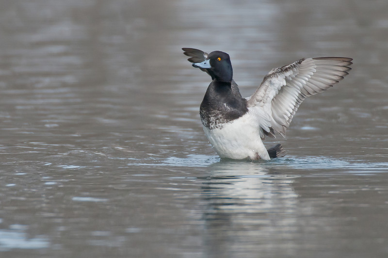ADK-11031: Lesser Scaup wingstretch (Bluebill-Aythya affinis)