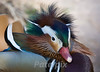 """There's no such thing as a bad hair day!!!""<br /> Mandarin duck<br /> New Jersey, 2009"