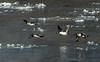 Common Goldeneyes flying along Mississippi