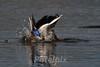 A Splash of Beauty<br /> Male mallard duck<br /> The Celery Farm, Allendale, New Jersey, 2010