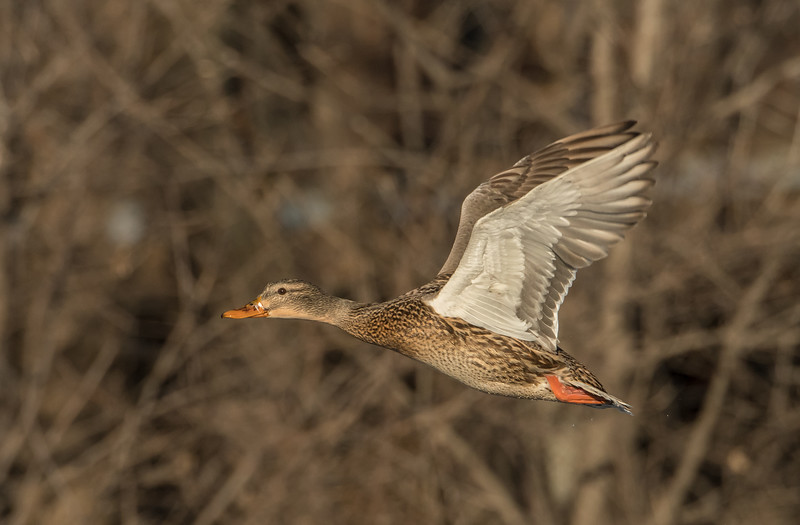 Mallard hen in flight