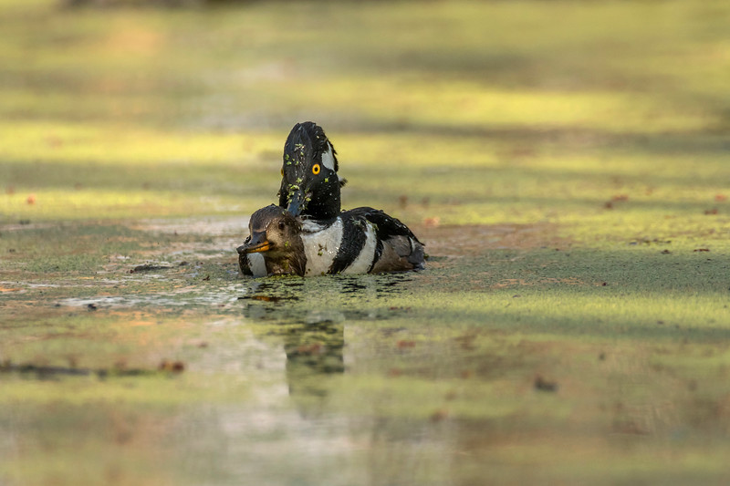 Mating Hooded Mergansers