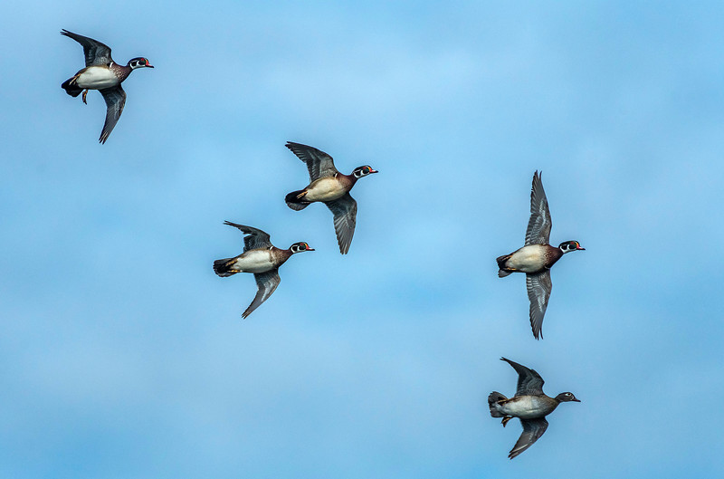 Woodies in a courtship flight