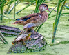 Wood Duck and His Friends