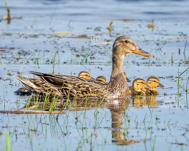 Mallard Mom and Nine Ducklings