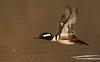 Drake Hooded Merganser taking flight