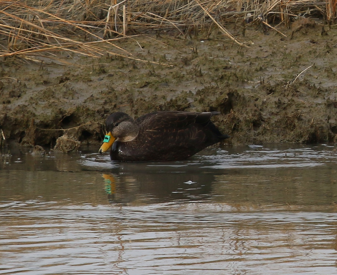 Black Duck tagged with DEEP nasal saddle in Fence Creek in Madison