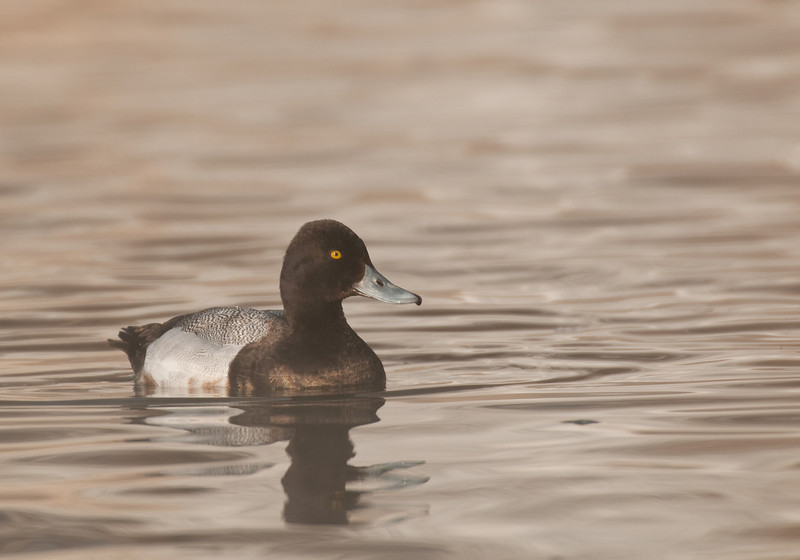 ADK-10043: Greater Scaup (Aythya marila)