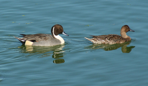 Northern Pintail male & female