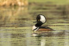 Drake Hooded Merganser