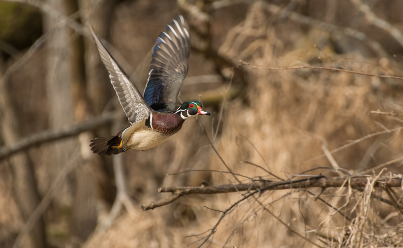 Drake Wood Duck on the wing