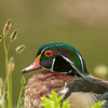 Wood Duck (male), George C. Reifel Bird Sanctuary, Delta, BC