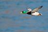 ADK-12077: Mallard in flight (Anas platyrhynchos)