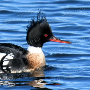 1366  Red-breasted Merganser portrait, male,  on the icy Merrimack River in Newburyport, MA   (Feb 2017)