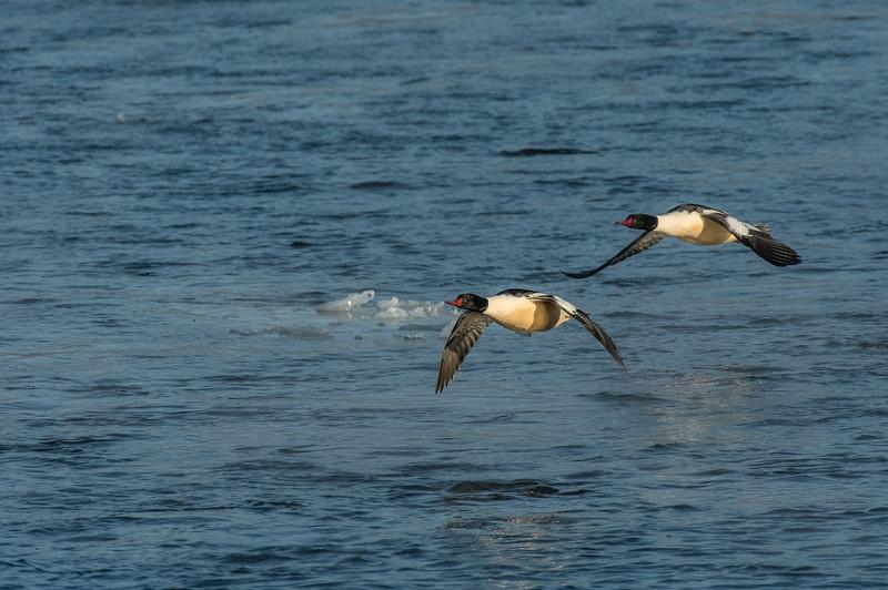 Pair of Drake Common Mergansers