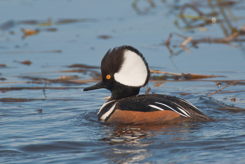ADK-11117: Male Hooded Merganser (Lophodytes cucullatus)