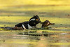 Hooded Merganser in mating behavior