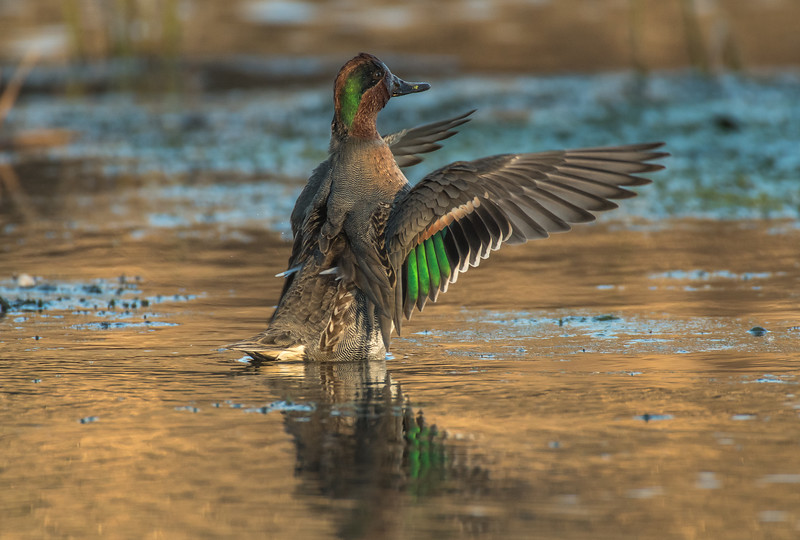 Drake Green-winged Teal wing flap