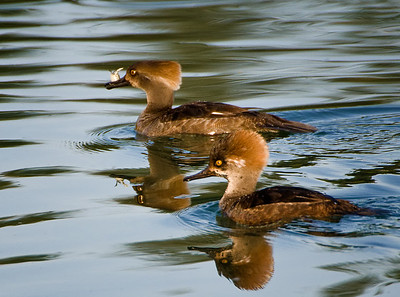 First-spring Hooded Mergansers
