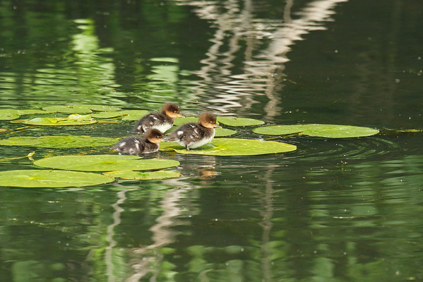 Hooded Merganser Young (Lophodytes cucullatus)