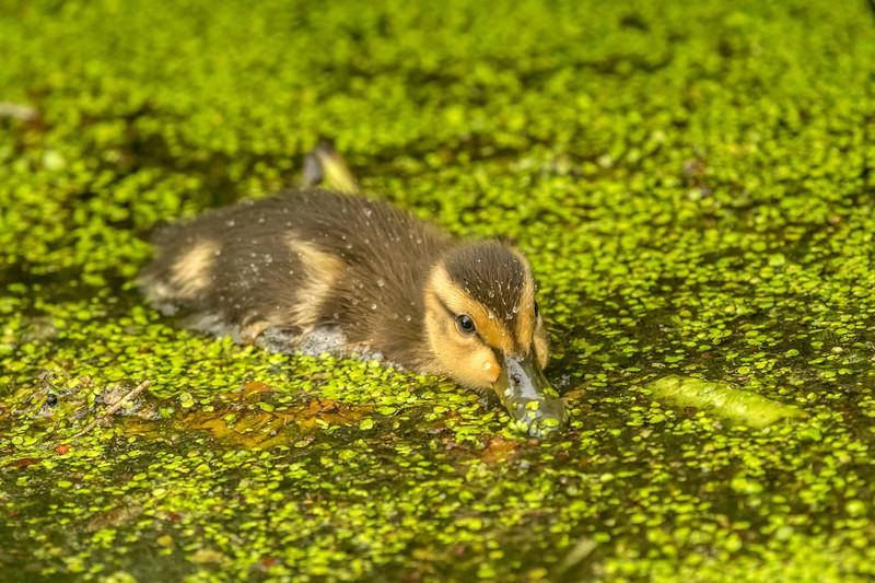 Mallard duckling with duckweed lunch